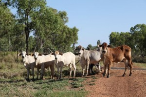 Cattle in central Queensland where new coal mines are proposed for development.