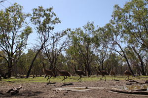Emus in central Queensland.